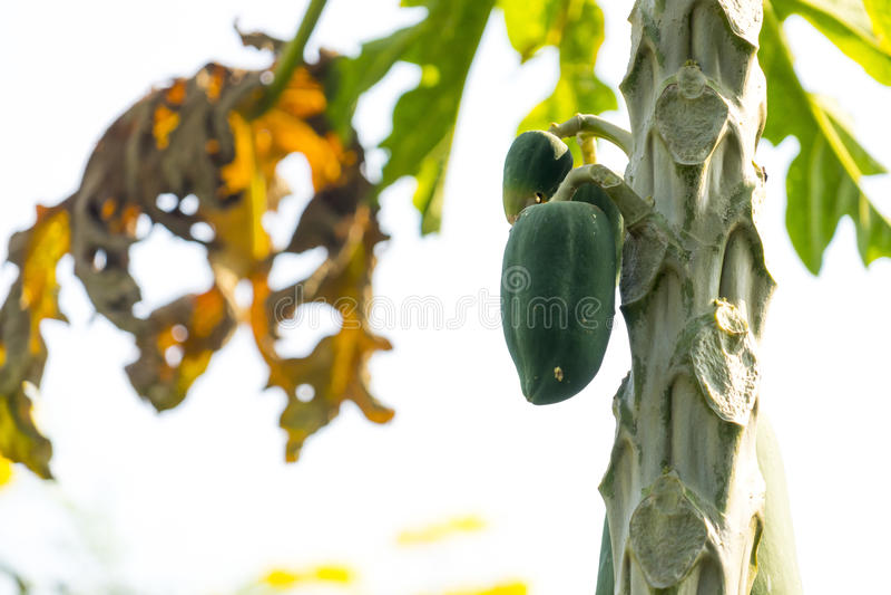 tree för isiolokenya nordlig papaya arkivfoton