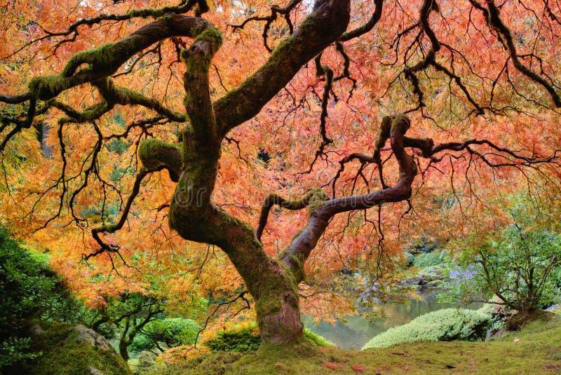 tree för japansk lönn för fall gammal royaltyfri bild