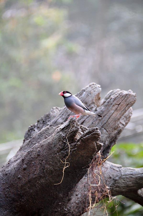 tree för java sparrow royaltyfria bilder