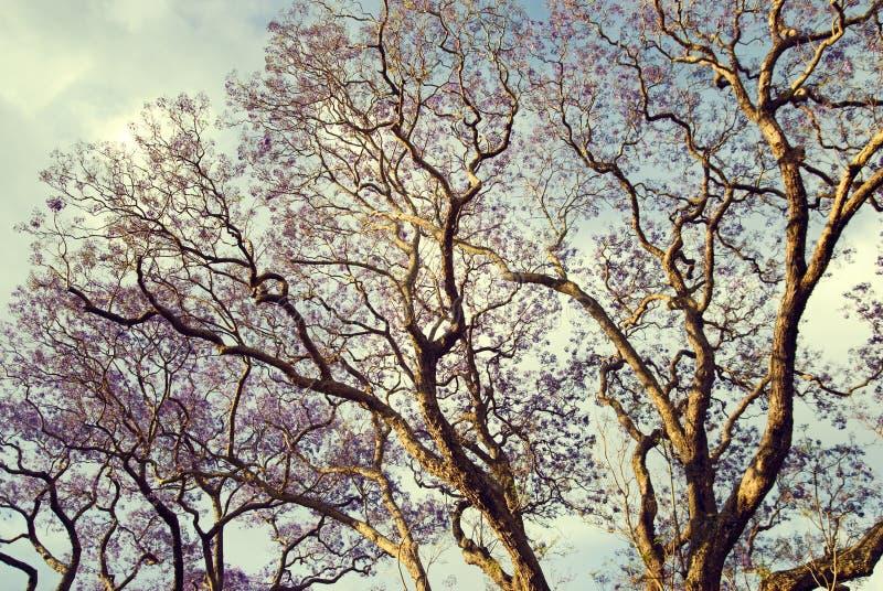 tree för lampa för eftermiddagaustbrisbane jakaranda royaltyfri foto