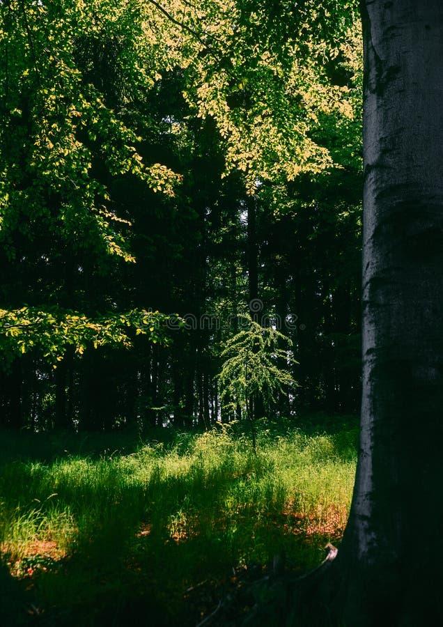 tree för larchlivstidsfjäder fortfarande arkivfoto