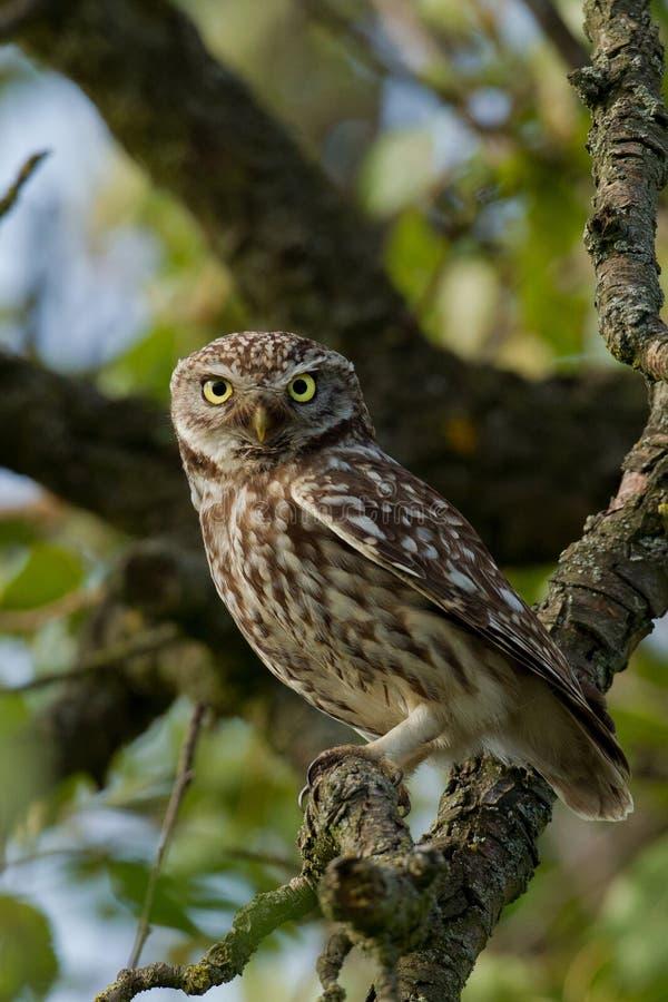 tree för liten owl för äpple royaltyfri fotografi