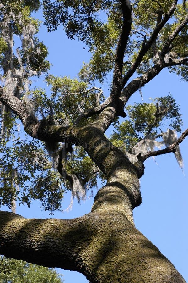 tree för live oak arkivfoto