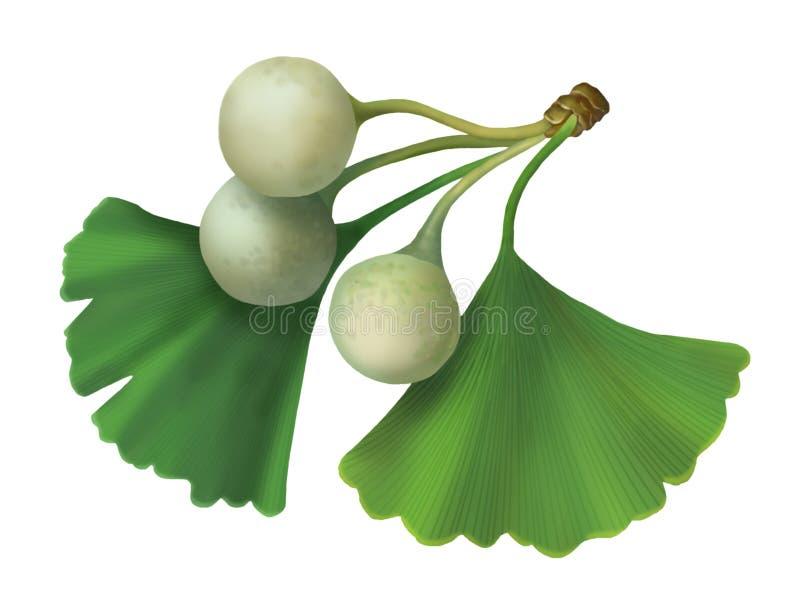 tree för maidenhair för bilobaginkgoillustration vektor illustrationer