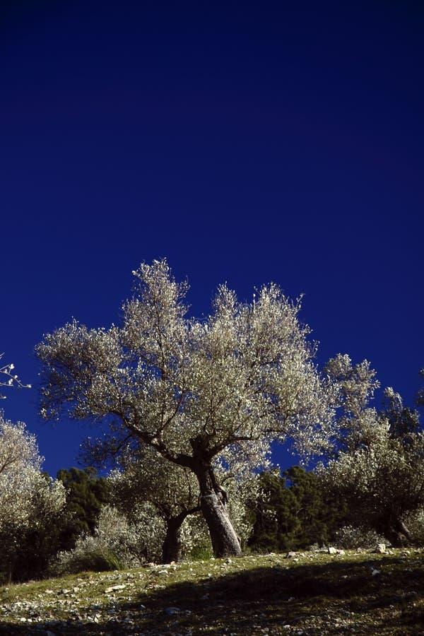 tree för mandel ii fotografering för bildbyråer