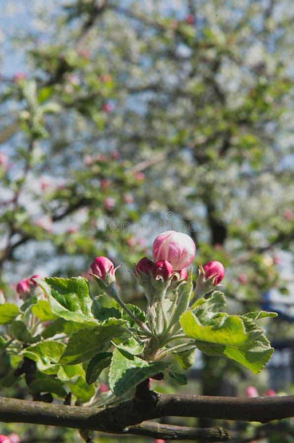 tree för plockning för äppleaftonträdgård Fjädra den blomma treen Det härliga äpplet blommar på filial royaltyfri foto