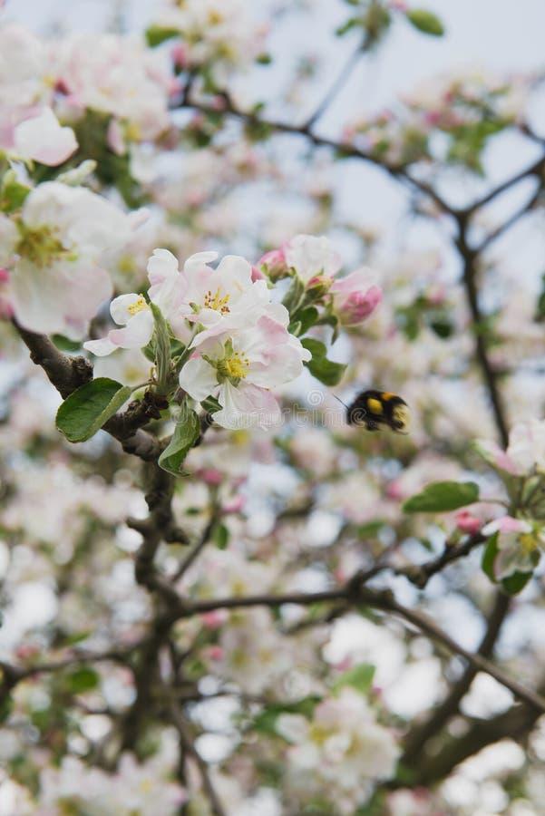 tree för plockning för äppleaftonträdgård Fjädra den blomma treen Det härliga äpplet blommar på filial arkivfoto