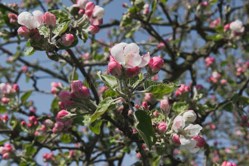 tree för plockning för äppleaftonträdgård Fjädra den blomma treen Det härliga äpplet blommar på filial royaltyfri bild