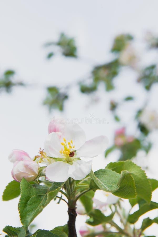 tree för plockning för äppleaftonträdgård Fjädra den blomma treen Det härliga äpplet blommar på filial royaltyfri fotografi