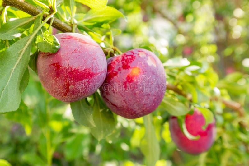 tree för plommon för frukt för jordbrukfilialbegrepp smaklig arkivbild