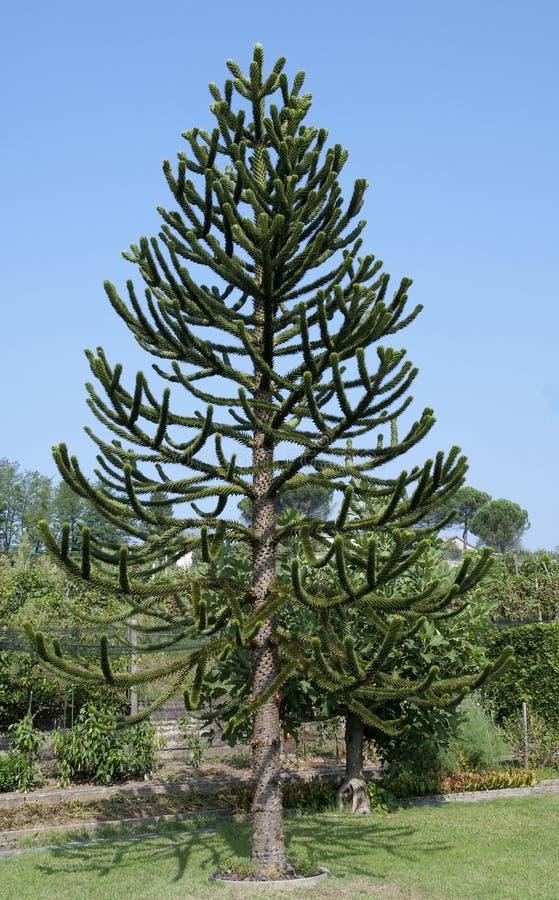 Tree för pussel för Araucariaaraucana-apa arkivbilder