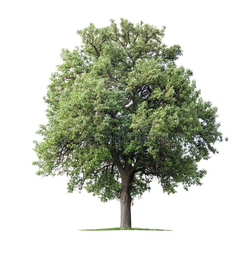 tree för red för pears för pear för bakgrundslövverkgreen royaltyfri fotografi