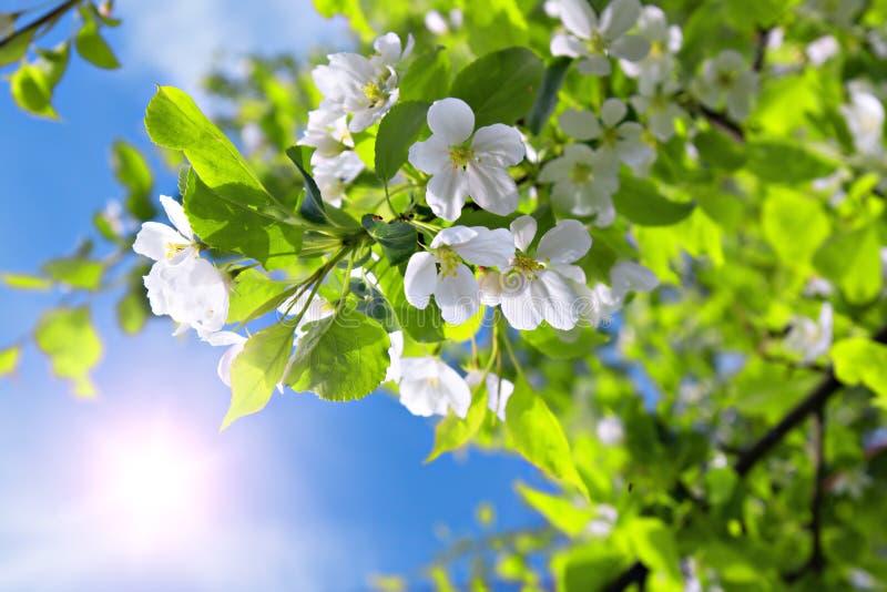 tree för sun för sky för filial för äppleblomning blå royaltyfria foton