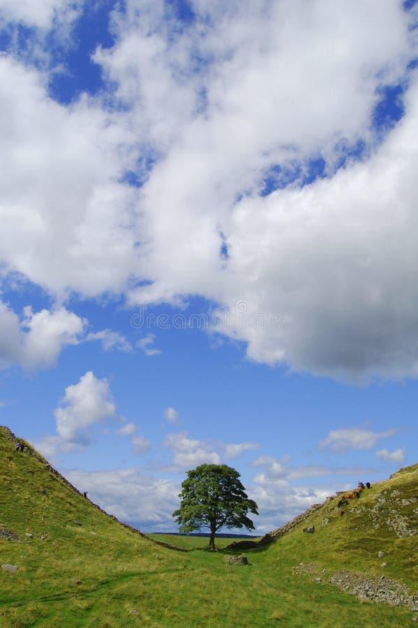 tree för sycamore för mellanrumshuvrobin royaltyfri foto