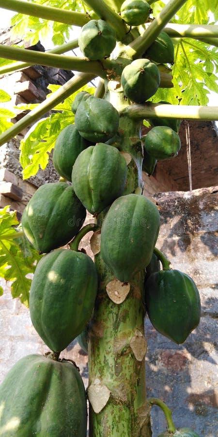 tree f?r isiolokenya nordlig papaya fotografering för bildbyråer