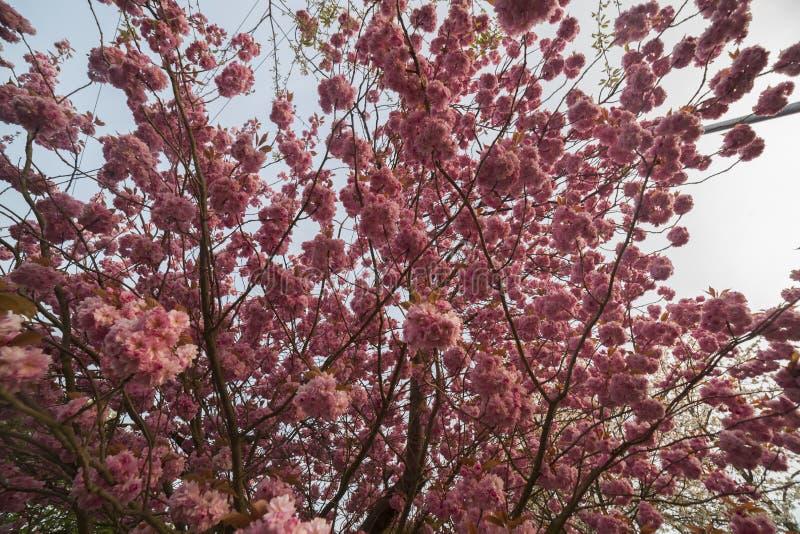 tree f?r tid f?r blomningCherryfj?der royaltyfri fotografi