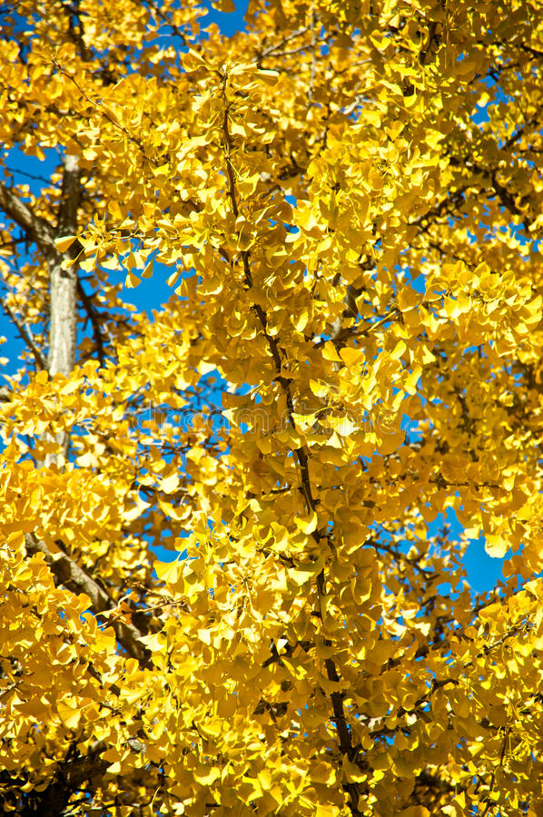 Download Tree during fall stock photo. Image of yellow, blue, clear - 12122882