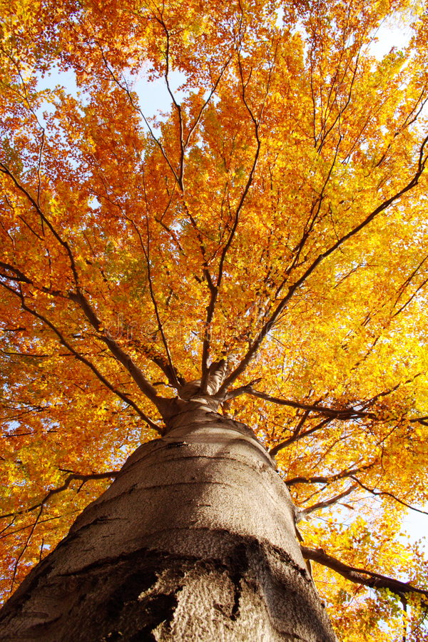 Tree in fall from below stock photography