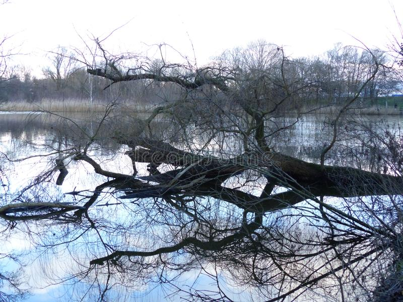 A tree fallen in the water with reflaction stock photos