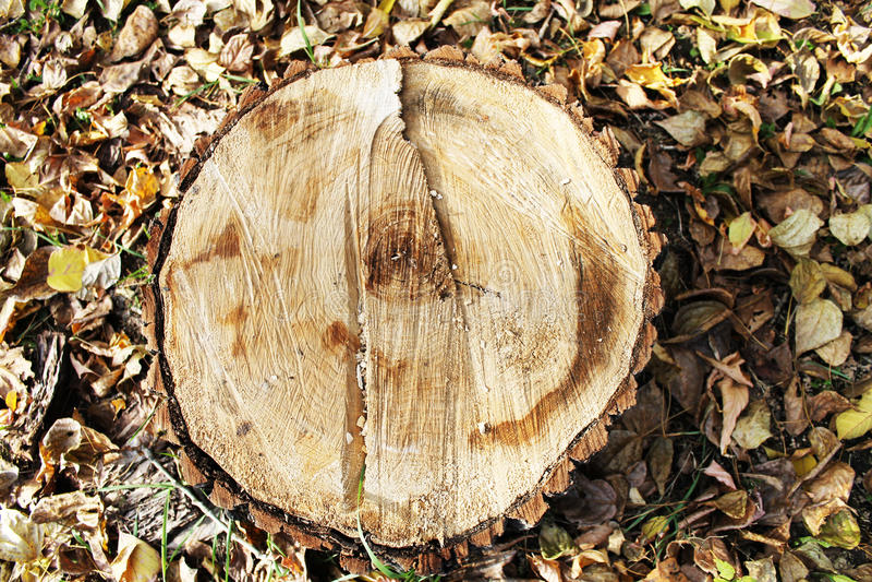 Tree felling royalty free stock photo