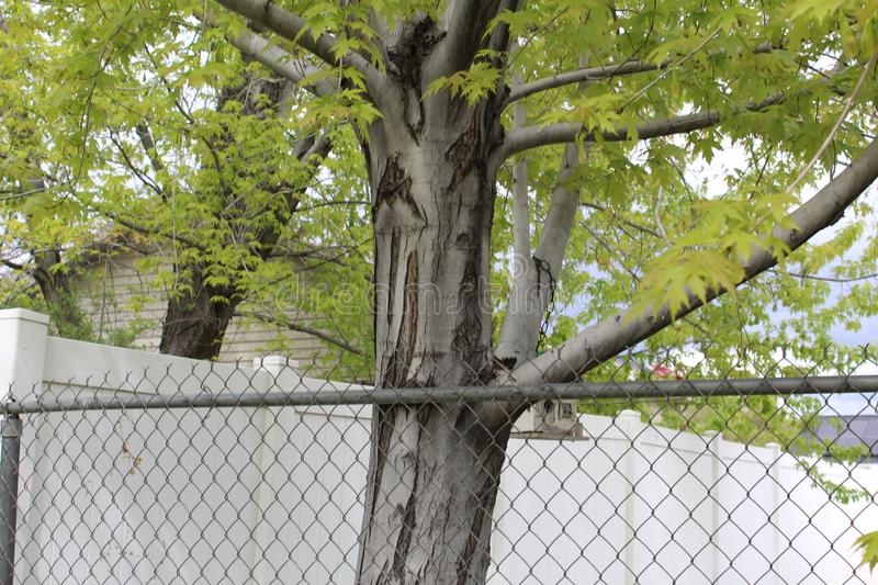 Fenced yellow tree. Tree with fence in front of it tree has yellow leaf`s stock photography