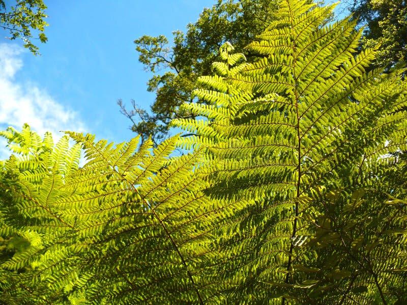 Tree Fern royalty free stock photography