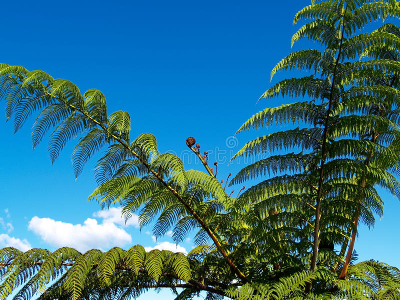 Tree fern, against blue sky. Tree fern against blue sky low angle view stock images