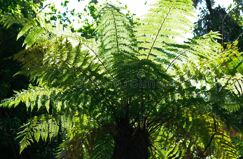 Tree Fern - backlit. The ubiquitous New Zealand Tree Fern or Punga; backlit to enhance the lush new young growth royalty free stock image