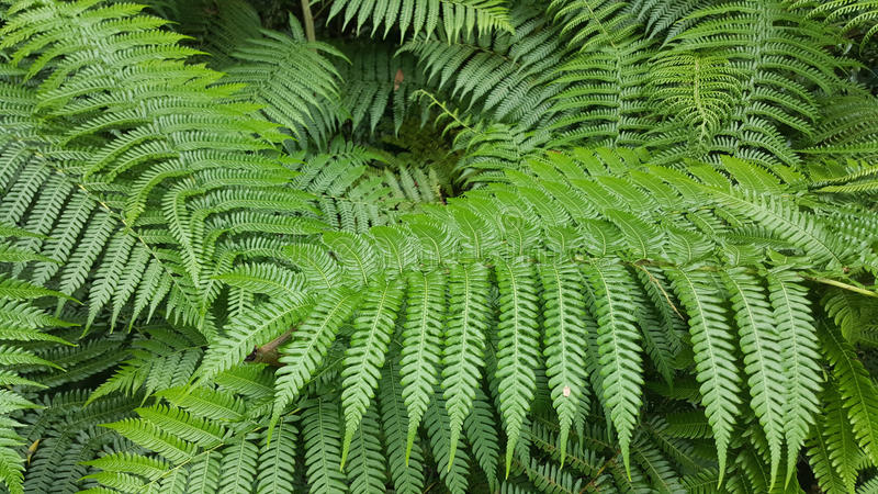 Tree fern leaves royalty free stock images