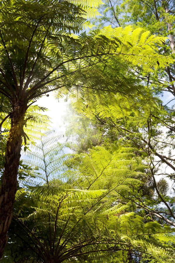 Tree ferns stock photos