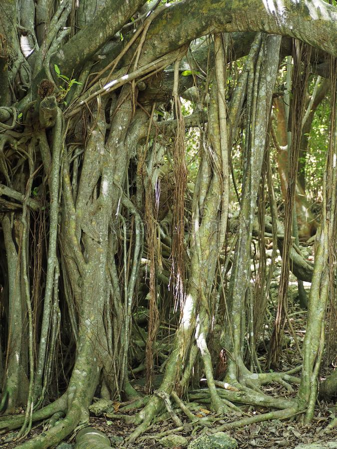 Strangler fig to Cap Chevalier on the island of Martinique royalty free stock photo