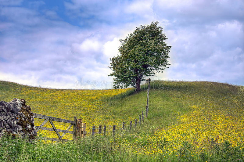 Download Tree In Field Of Buttercups Stock Image - Image: 33093669