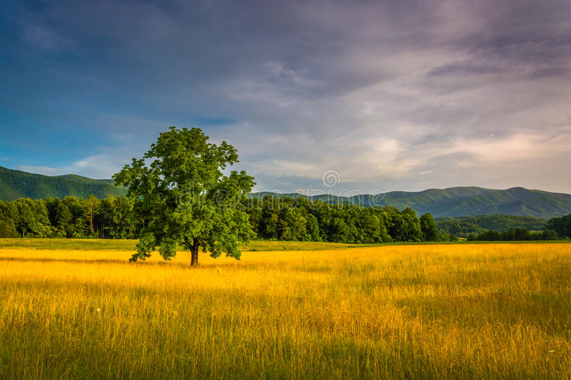 Tree in a field at Cade's Cove, Great Smoky Mountains National P stock photography