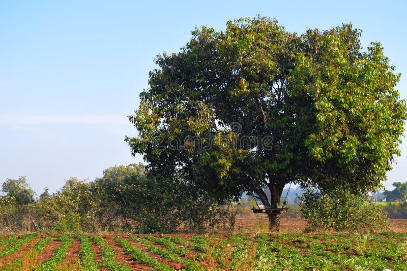 Tree in field, Kalaburagi, India. Tree in field of crops in rural Kalaburagi or Gulbarga, India on sunny day with blue skies stock photo