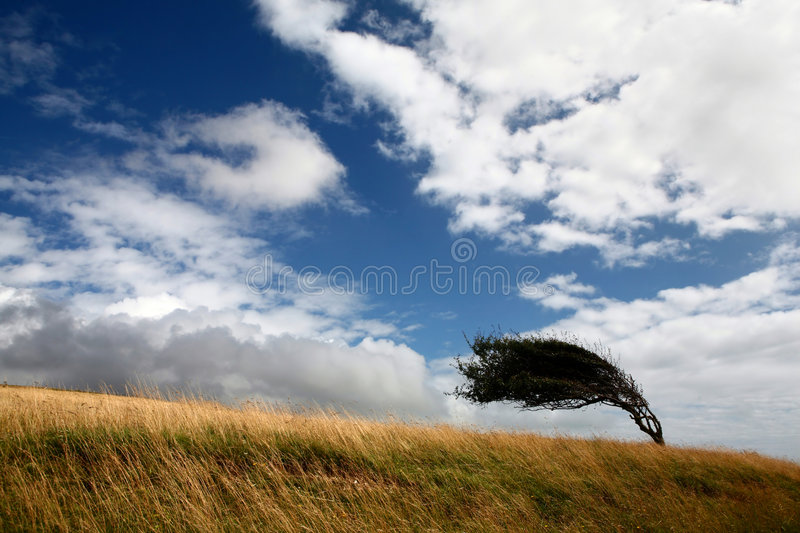 Tree on a field deformed by wind royalty free stock image