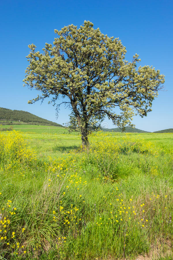 Download Tree in field stock image. Image of spring, single, blue - 39886983