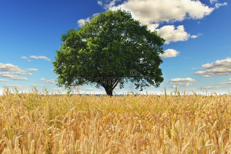 Tree and field royalty free stock photos