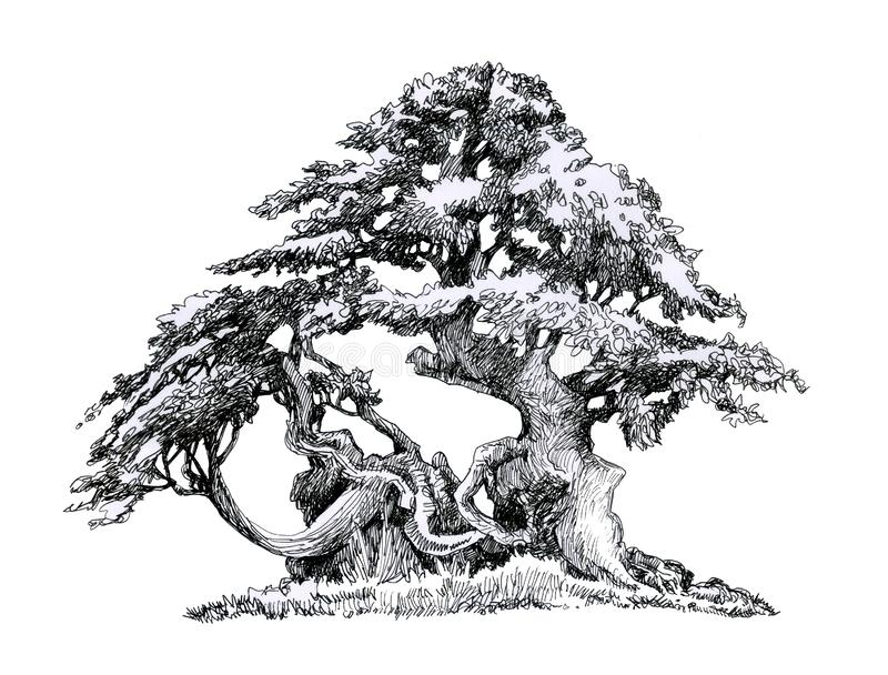 Old branchy deciduous tree.Ink drawing. Tree. Figure ink. Old branchy deciduous tree.Picture of a tree with a branchy crown and a thick trunk, illustration for stock illustration