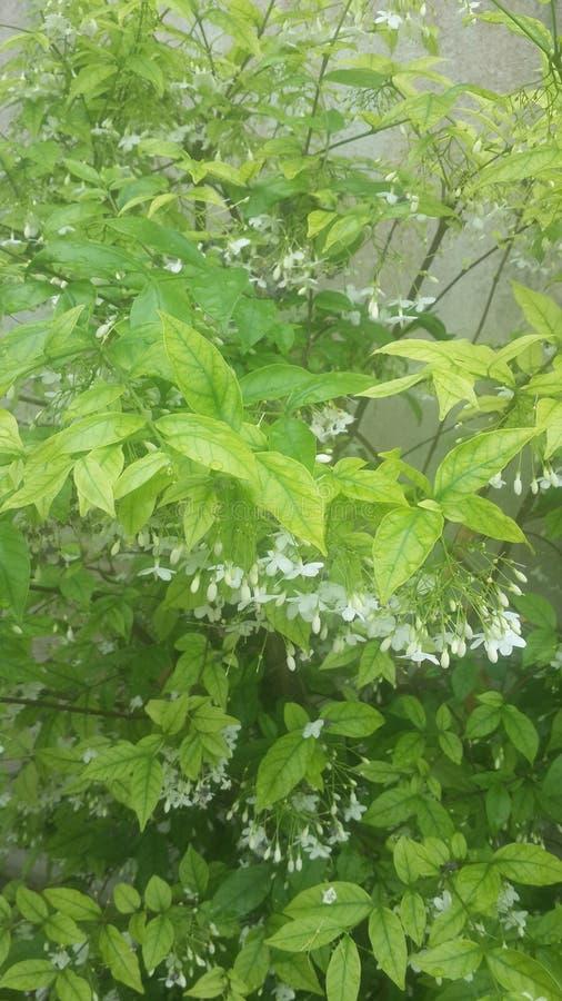 Tree flower whiteflower background nature royalty free stock photography