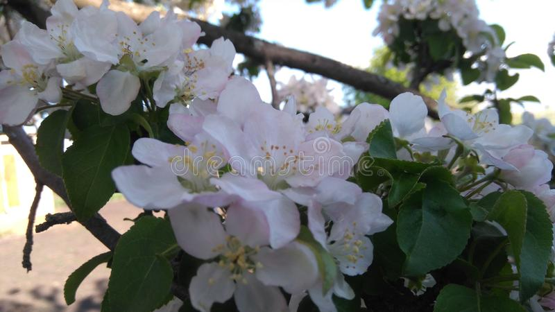 Tree flowering branch stock images