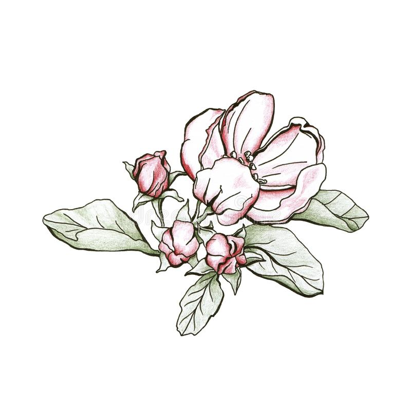 Tree flowers appletree. royalty free stock photos