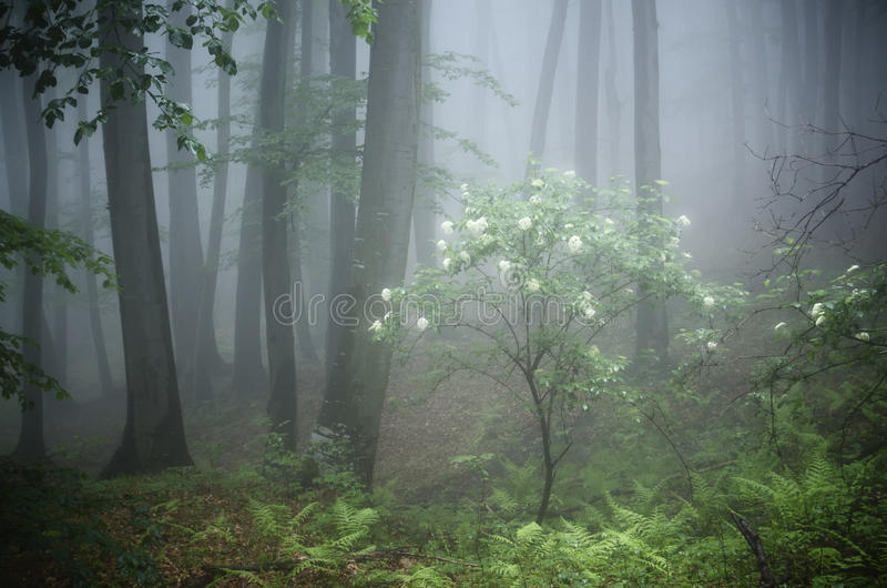 Tree with flowers in bloom in forest with fog royalty free stock images