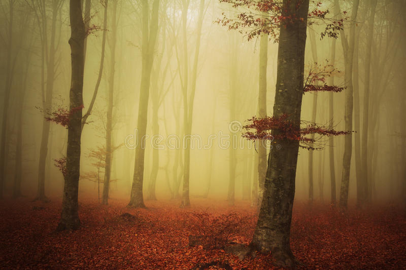 Tree in a foggy autumn forest royalty free stock image