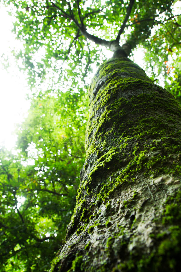 Download Tree stock image. Image of tree, mosses, green, nationalpark - 43525911