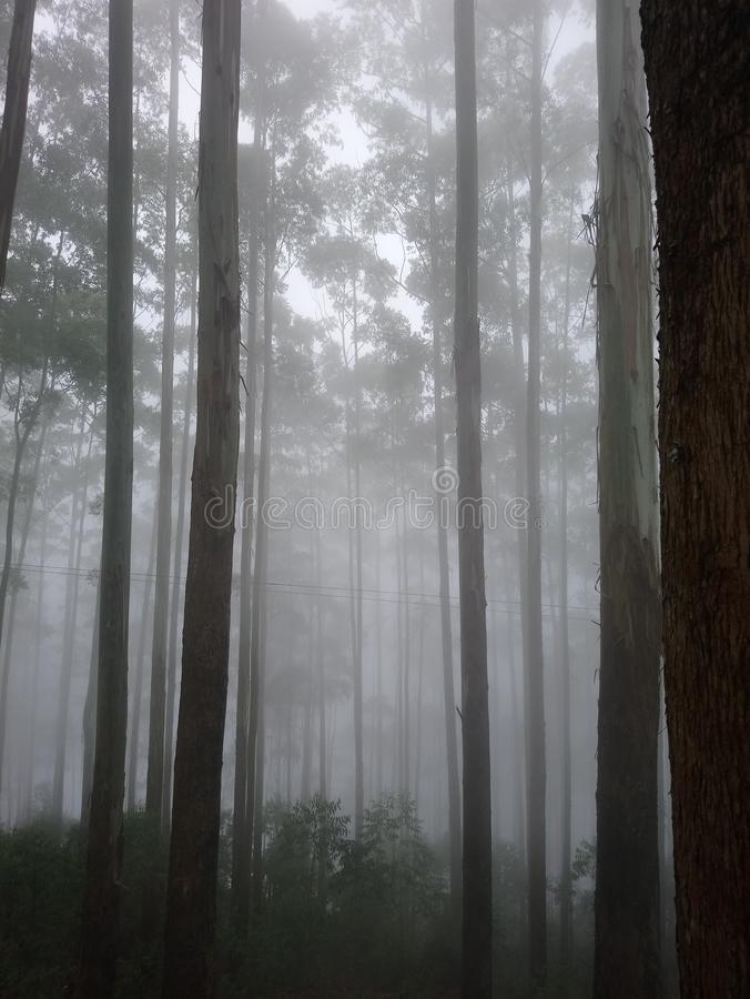 Tree. Forest, mist, fog, spooky royalty free stock image