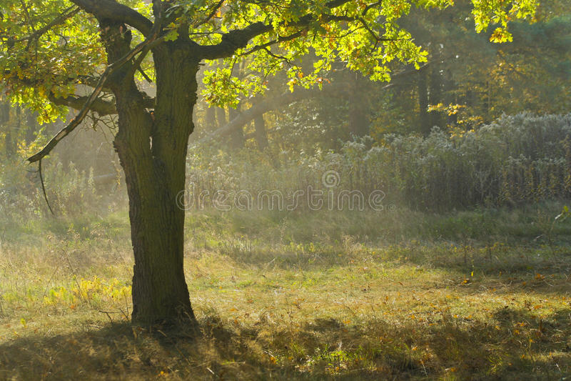 Tree in forest royalty free stock photography