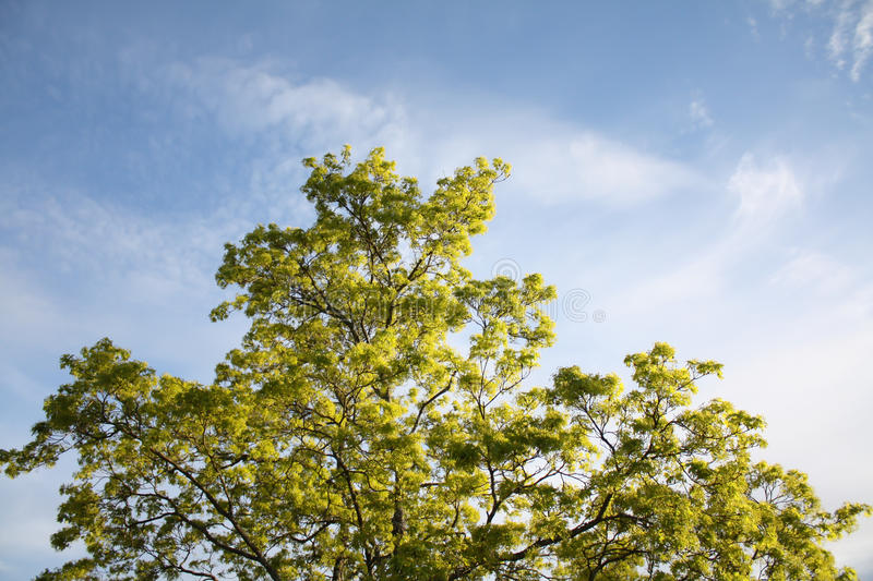 Tree with fresh green leaves royalty free stock photos