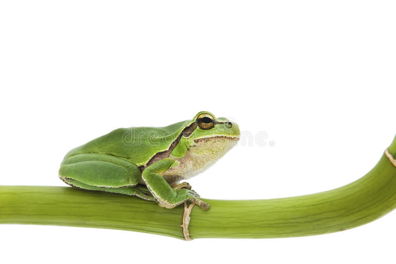 Download Tree Frog Stock Photo - Image: 10011200