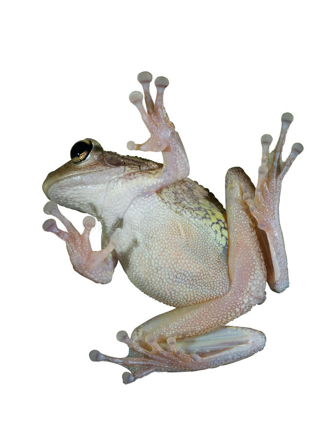 Free Tree Frog Stock Photography - 17979492
