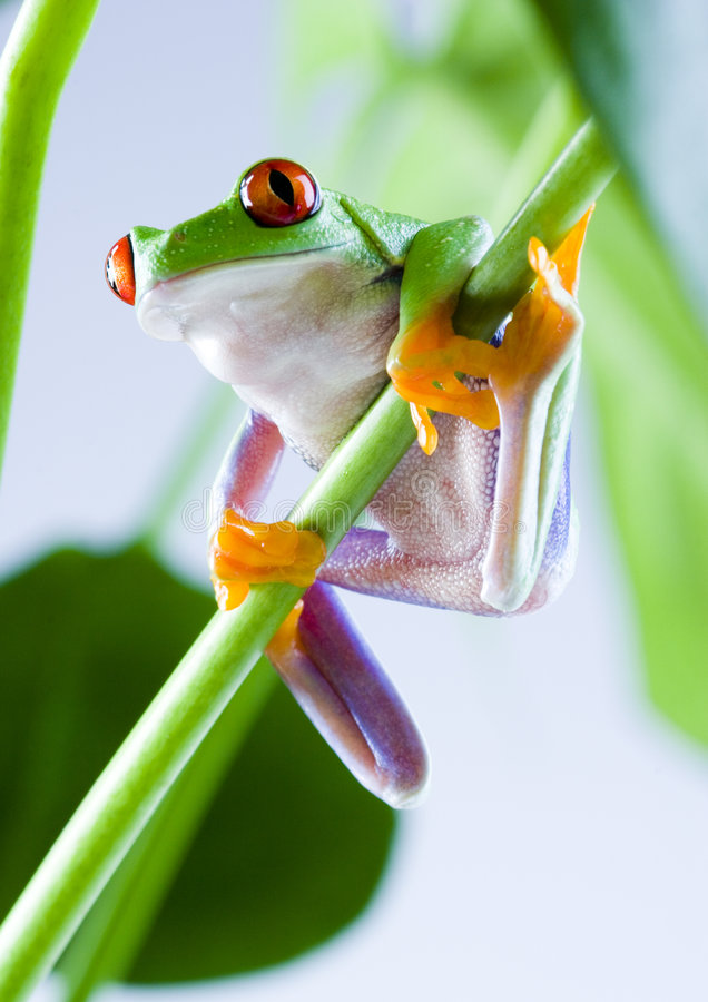 Free Tree Frog Royalty Free Stock Photo - 1818985